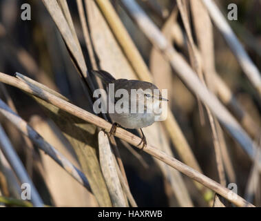Siberian Chiffchaff, Phylloscopus collybita tristis, in a reed bed, at Llyn Coed-y-dinas, - Stock Photo