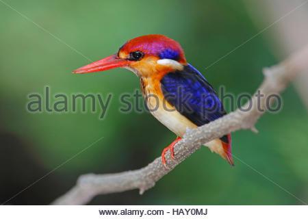 Oriental Dwarf Kingfisher Ceyx erithaca Birds of Thailand - Stock Photo