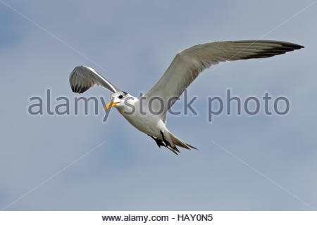 Greater crested tern Thalasseus bergii Birds flying - Stock Photo
