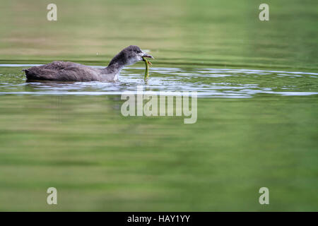 Common Coot (Fulica atra) juvenile feeding in water. Staffelsee. Upper Bavaria. Germany. - Stock Photo