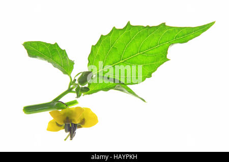 cape gooseberry growing instructions