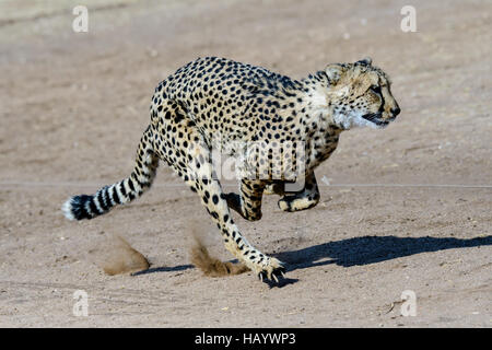 Speedy cheetah in full motion - Stock Photo