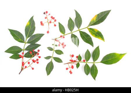 Szechuan pepper (Zanthoxylum piperitum) - Stock Photo