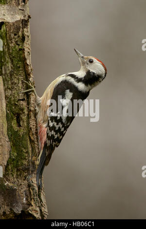 Middle Spotted Woodpecker - Stock Photo