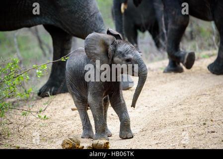 Baby Elephant with attitude - Stock Photo