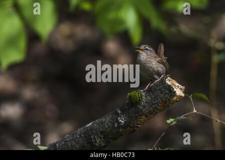 Wren (Troglodytes troglodytes) - Stock Photo