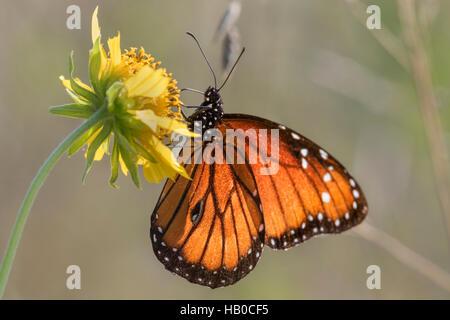 Queen butterfly (Danaus gilippus) feeding in a sunny meadow, Aransas, Texas, USA - Stock Photo
