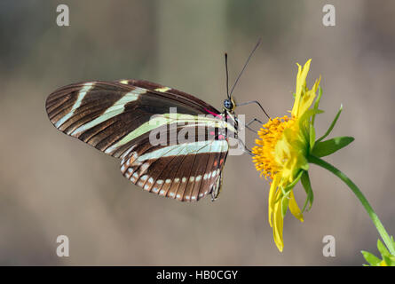Zebra Longwing Butterfly (Heliconius charitonius) feeding in a sunny meadow, Aransas, Texas, USA - Stock Photo