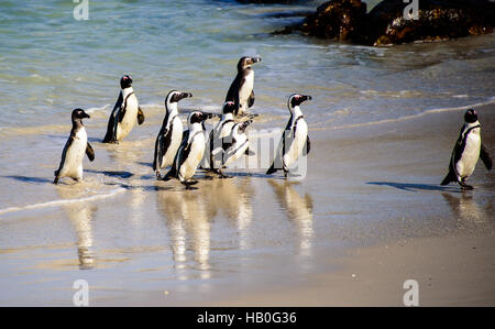 African penguins emerging from the sea and their reflections in the water - Stock Photo