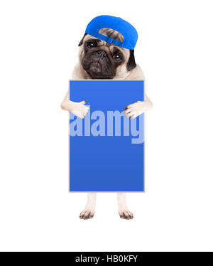 cute pug puppy dog with cap, standing up holding blank blue sign and giving a like with thumb, isolated on white - Stock Photo