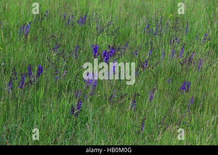 Meadow sage, Salvia pratensis - Stock Photo