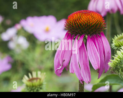 single Echinacea purpurea - Stock Photo