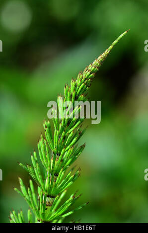 horsetail; wood horsetail; sylvan horsetail; - Stock Photo
