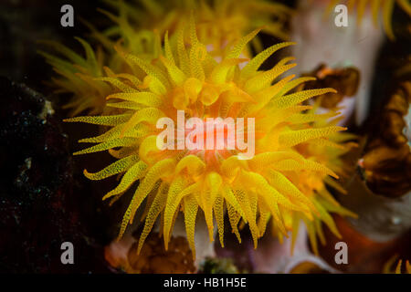 A bright yellow coral polyp (Tubastrea sp.) grows on a coral reef in Komodo National Park, Indonesia. - Stock Photo