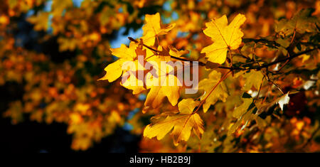 Autumnal maple leaves in blurred background. - Stock Photo