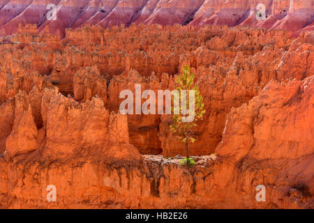 A tree on a ridge in Bryce Canyon National Park, Utah USA - Stock Photo