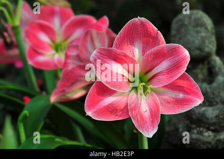 Red Amaryllis flowers in a garden - Stock Photo