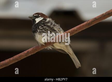Spanish sparrow, South-Durankulak, Bulgaria - Stock Photo