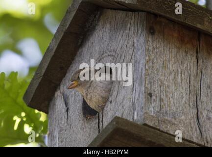 House Sparrow near Goritsa, Bulgaria - Stock Photo
