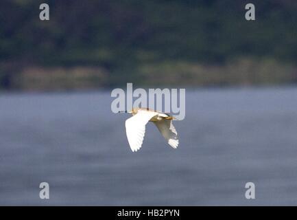 Squacco Heron, Vaya Lake, Burgas, Bulgaria - Stock Photo