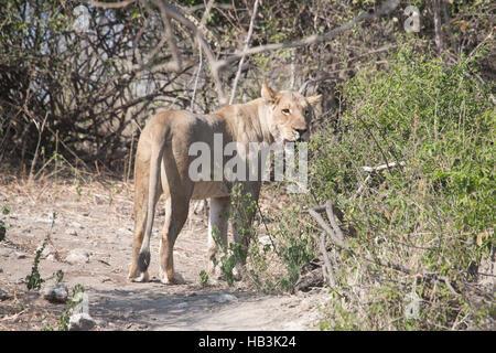 Lioness in Botswana - Stock Photo