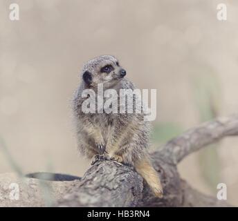 Meerkat (Suricata suricatta) - Stock Photo