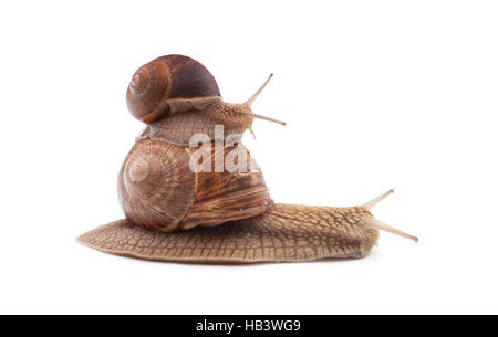 Two Snails isolated on white background - Stock Photo