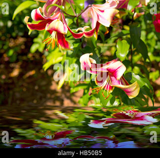 Beautiful red  lily in the garden. - Stock Photo