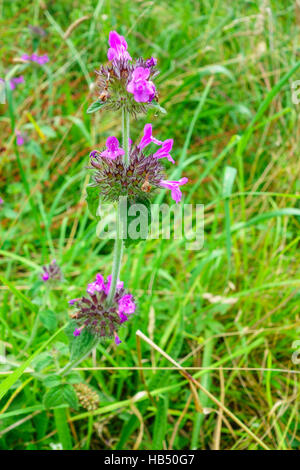 Wild Basil (Clinopodium vulgare) growing on a Nature reserve in the Herefordshire uk countryside flowering July/September - Stock Photo