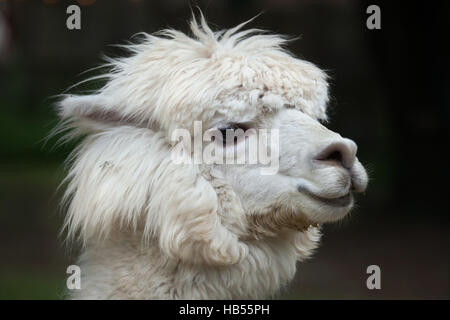Llama (Lama glama). Domestic animal. - Stock Photo