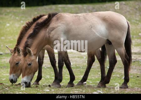 Przewalski's horse (Equus ferus przewalskii), also known as the Asian wild horse. - Stock Photo