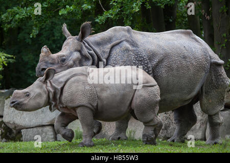 Nine-month-old Indian rhinoceros (Rhinoceros unicornis) called Puri with its mother Rapti at Hellabrunn Zoo in Munich, - Stock Photo