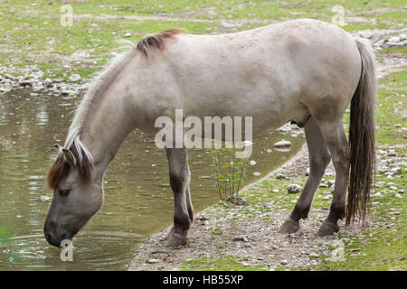Heck horse (Equus ferus caballus), claimed to resemble the extinct tarpan (Equus ferus ferus) at Hellabrunn Zoo - Stock Photo