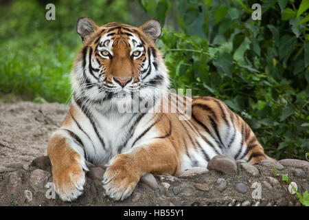 Siberian tiger (Panthera tigris altaica), also known as the Amur tiger. - Stock Photo