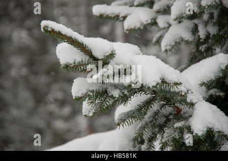 Christmas evergreen spruce tree branch with fresh snow - Stock Photo