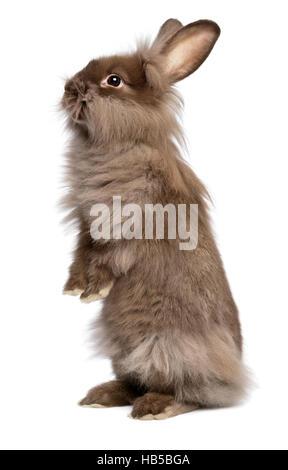 Cute standing chocolate colored lionhead bunny rabbit - Stock Photo