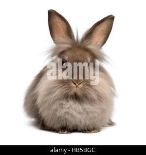 Lying chocolate colored lionhead bunny rabbit - Stock Photo