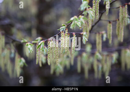 blossoms of a hornbeam - Stock Photo