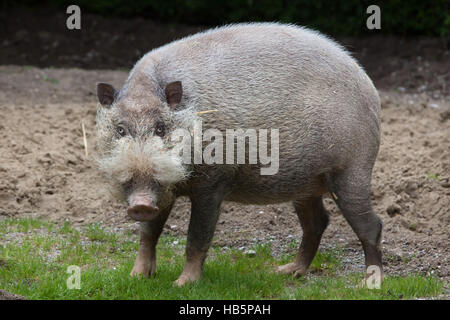 Bornean bearded pig (Sus barbatus), also known as the bearded pig. - Stock Photo