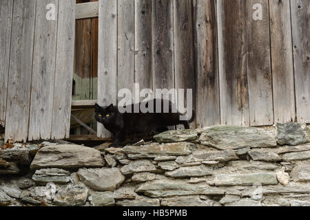 black cat lurking in the old woodshed - Stock Photo