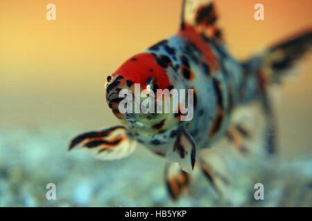 Shubunkin goldfish stock photo royalty free image for Shubunkin im gartenteich