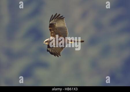 Western Marsh Harrier ( Female ) - Stock Photo