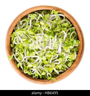 Radish sprouts in wooden bowl. Fresh yellow green germinated seeds of the root vegetable Raphanus sativus. - Stock Photo