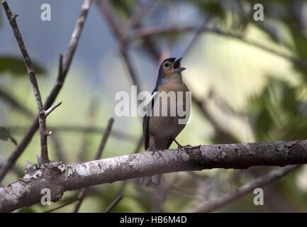 Tenerife Common Chaffinch - Stock Photo