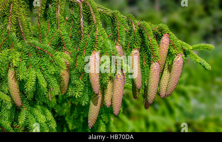Christmas Tree - Norway spruce (Picea abies) - Stock Photo