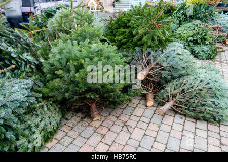 Nordman fir trees for sale at Christmas the advantage of this variety is that the needles are soft and do not fall - Stock Photo