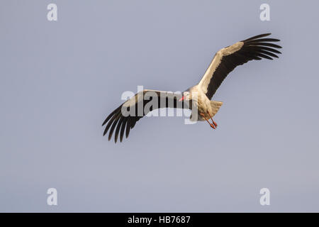 White stork (Ciconia ciconia) - Stock Photo