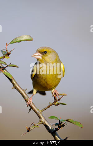 European Greenfinch ( Carduelis chloris ), male bird, perched on a thorny branch, watching around attentively, frontal - Stock Photo