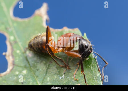 A dead Ferruginous Carpenter Ant (Camponotus chromaiodes) rests on a leaf. - Stock Photo