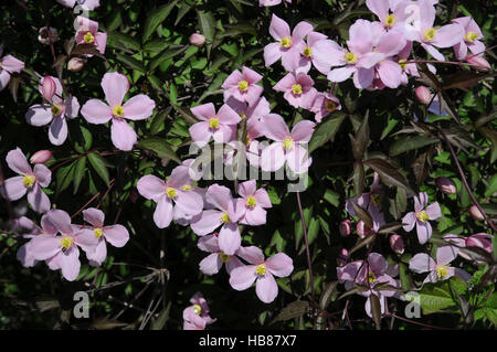 clematis montana rubens anemone clematis stock photo. Black Bedroom Furniture Sets. Home Design Ideas